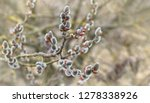 twigs of willow tree  salix... | Shutterstock . vector #1278338926