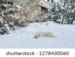 young tatra shepherd dog in... | Shutterstock . vector #1278430060