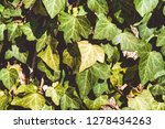 a wall of common ivy. also... | Shutterstock . vector #1278434263