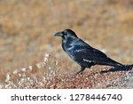 the common raven  corvus corax  ...   Shutterstock . vector #1278446740