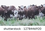 cows in countryside in  pampas... | Shutterstock . vector #1278446920