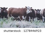 cows in countryside in  pampas... | Shutterstock . vector #1278446923