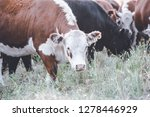 cows in countryside in  pampas... | Shutterstock . vector #1278446929