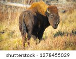 wood bison in northern b.c. the ... | Shutterstock . vector #1278455029