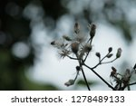 poaceae grass flowers in... | Shutterstock . vector #1278489133