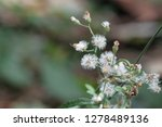 poaceae grass flowers in... | Shutterstock . vector #1278489136