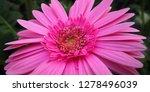 beautiful gerbera is blooming... | Shutterstock . vector #1278496039