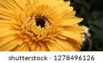 beautiful gerbera is blooming... | Shutterstock . vector #1278496126