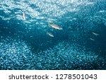 Stock photo flatiron herring baitball sea of cortez mexico 1278501043