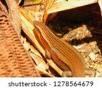 scincidae or common sun wild... | Shutterstock . vector #1278564679