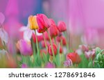 Landscape With  Tulip Field....