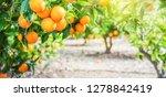 bunch of ripe oranges hanging... | Shutterstock . vector #1278842419
