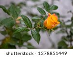 yellow rose bud blooming on...