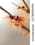 orange blossoming branch of a...   Shutterstock . vector #1278909499
