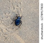 black beetles  darkling beetles ...   Shutterstock . vector #1278917833