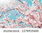 branches of blossoming cherry... | Shutterstock . vector #1278925600