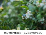 closeup view of northern... | Shutterstock . vector #1278959830