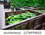 boxes of picked cucumbers in a... | Shutterstock . vector #1278959833