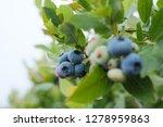 closeup view of northern... | Shutterstock . vector #1278959863