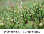 closeup view of unripe northern ... | Shutterstock . vector #1278959869