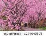 landscape view of cherry... | Shutterstock . vector #1279040506