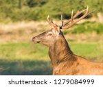 male red deer in la pampa ... | Shutterstock . vector #1279084999