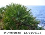 Small photo of Palm dwarf, Serenoa repens. Officinal plant