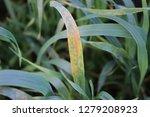wheat leaf rust  puccinia... | Shutterstock . vector #1279208923