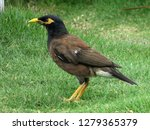 Common Mynah Bird  Acridotheres ...