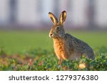 Stock photo european brown hare lepus europaeus 1279376380