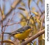 small  new world warbler in... | Shutterstock . vector #1279405099