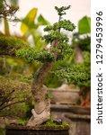 bonsai tree in a garden in bali ... | Shutterstock . vector #1279453996