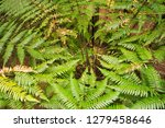 forest of tree ferns and giant... | Shutterstock . vector #1279458646