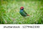 fiji parrot finch on green grass | Shutterstock . vector #1279462330
