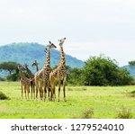 closeup of masai giraffe ... | Shutterstock . vector #1279524010