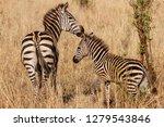 Stock photo zebra mother and child 1279543846
