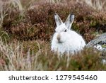 Stock photo white mountain hare lepus timidus these hares are native to the british isles this one was in 1279545460