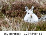 Stock photo white mountain hare lepus timidus these hares are native to the british isles this one was in 1279545463