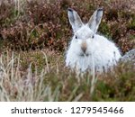 Stock photo white mountain hare lepus timidus these hares are native to the british isles this one was in 1279545466