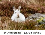 Stock photo white mountain hare lepus timidus these hares are native to the british isles this one was in 1279545469