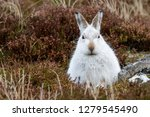 Stock photo white mountain hare lepus timidus these hares are native to the british isles this one was in 1279545490