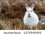 Stock photo white mountain hare lepus timidus these hares are native to the british isles this one was in 1279545493