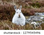 Stock photo white mountain hare lepus timidus these hares are native to the british isles this one was in 1279545496