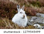 Stock photo white mountain hare lepus timidus these hares are native to the british isles this one was in 1279545499