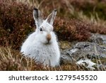 Stock photo white mountain hare lepus timidus these hares are native to the british isles this one was in 1279545520