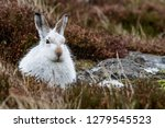 Stock photo white mountain hare lepus timidus these hares are native to the british isles this one was in 1279545523