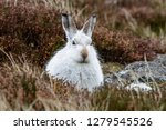 Stock photo white mountain hare lepus timidus these hares are native to the british isles this one was in 1279545526