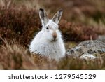 Stock photo white mountain hare lepus timidus these hares are native to the british isles this one was in 1279545529