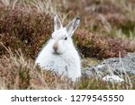 Stock photo white mountain hare lepus timidus these hares are native to the british isles this one was in 1279545550