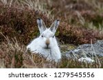Stock photo white mountain hare lepus timidus these hares are native to the british isles this one was in 1279545556